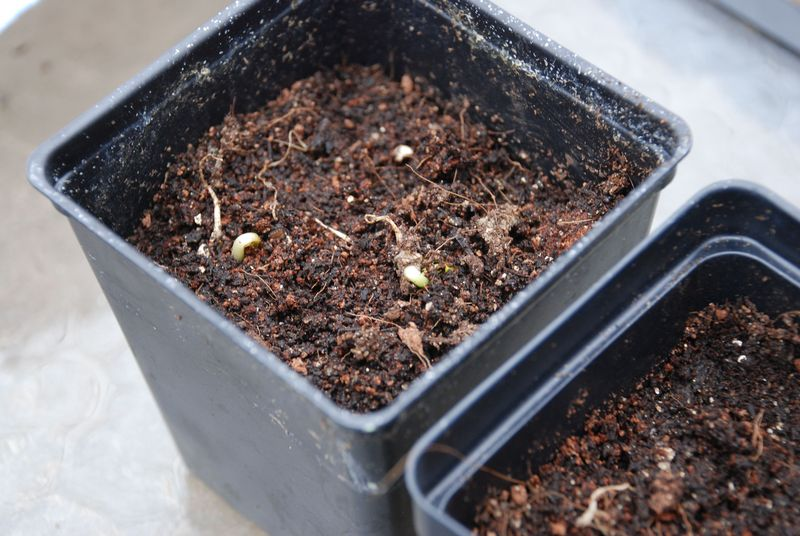 1_11orange_seedling
