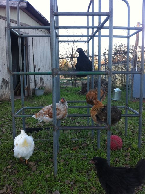 Chickens_roosting